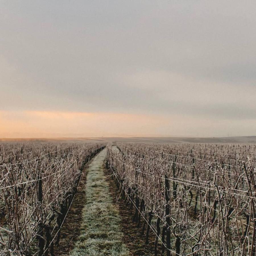 Raureif im Weinberg mit Sonnenaufgang