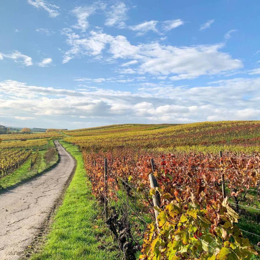 Weinberg im Herbst in strahlenden Farben